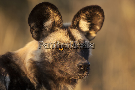 africa, , namibia., wild, dog, portrait., credit - 27745142