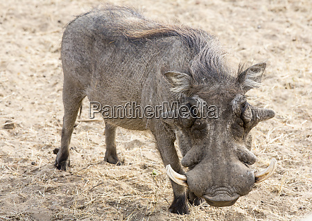 africa, , namibia, , windhoek, , okapuka, ranch., close-up - 27745249