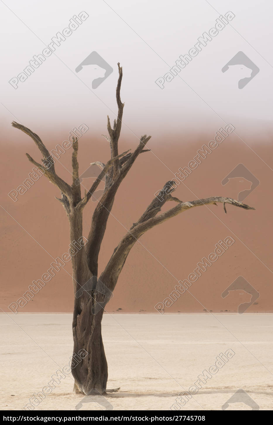 ancient, dead, camelthorn, acacia, trees, in - 27745708