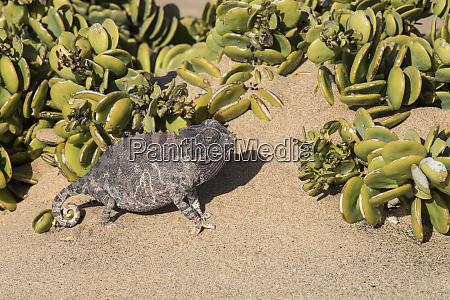 africa namibia chameleon in desert outside
