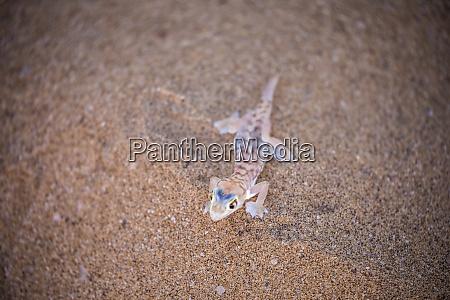 africa namibia namib web footed gecko