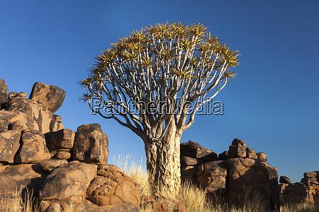 africa namibia keetmanshoop quiver tree