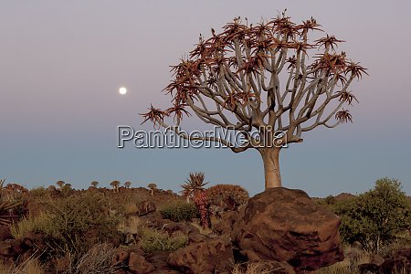 africa namibia keetmanshoop quiver tree forest