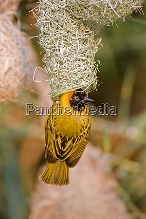africa namibia northwestern namibia kaokoveld conservation