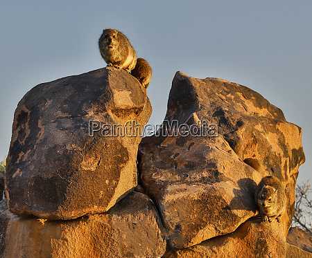 africa namibia keetmanshoop hyrax at the