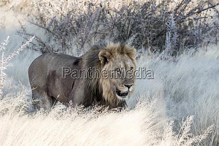 africa namibia etosha national park male