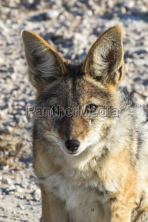 africa namibia etosha national park hyena