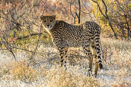 africa namibia etosha national park cheetah