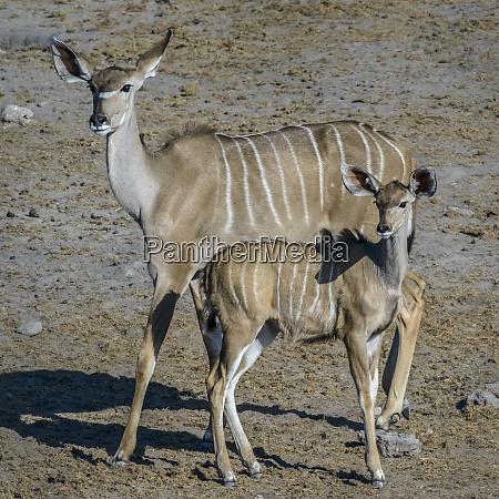etosha national park namibia africa greater