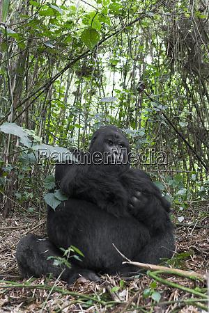 africa rwanda volcanoes national park silverback