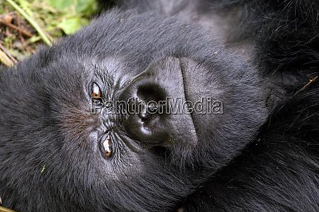 virunga mountains rwanda africa mountain gorilla