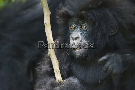 gorilla mother with 6 month old