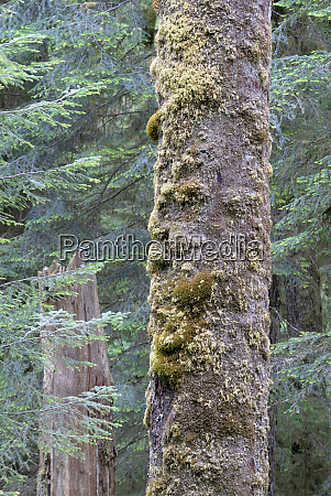 canada british columbia old tree trunk