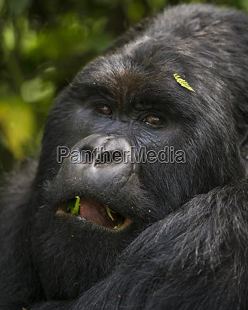 africa rwanda a silverback male mountain
