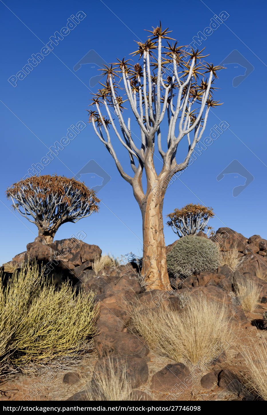 africa, , namibia, , keetmanshoop, , quiver, tree, forest, - 27746098