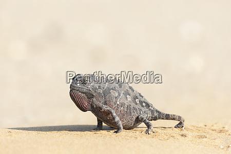 africa, , namibia, , swakopmund, , namaqua, chameleon, , chamaeleo - 27746001