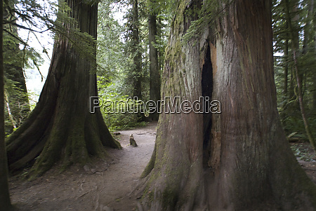 cathedral grove in macmillan provincial park