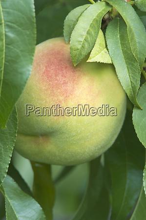 canada bc osoyos peacch ripe for