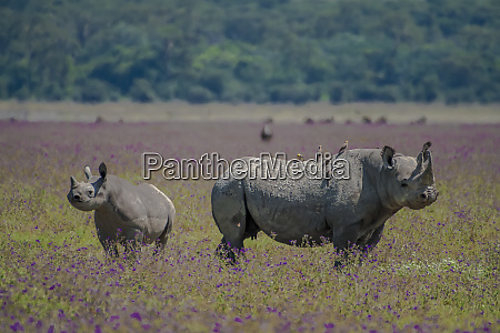 africa tanzania rhino mother and juvenile