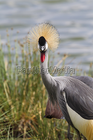 grey crowned crane balearica regulorum golden