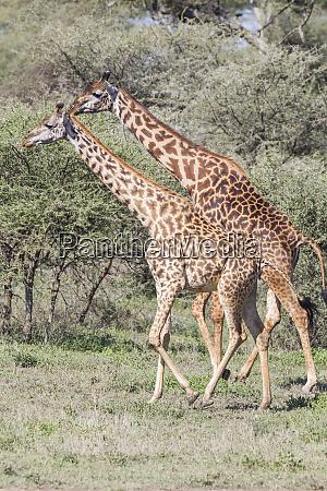 two masai elephants male and female
