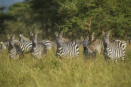 africa tanzania zebras