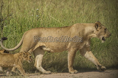 africa tanzania lioness with cub
