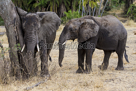 africa tanzania african elephants loxodonta africana