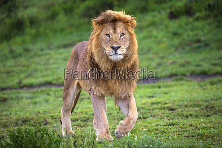 africa tanzania male african lion panthera