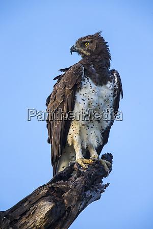 africa tanzania martial eagle polemaetus bellicosus