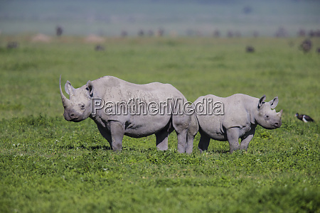 africa tanzania black rhinoceros diceros bicornis