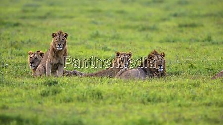 africa tanzania african lion panthera leo