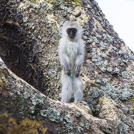 africa tanzania vervet monkey chlorocebus pygerthrus