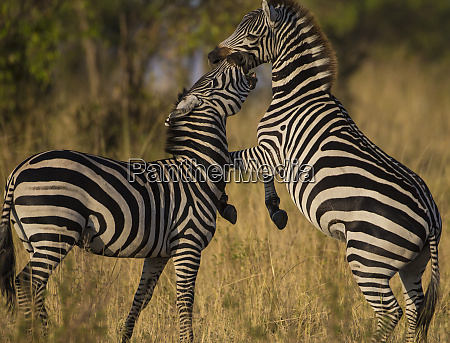 africa tanzania male zebra stallions equus