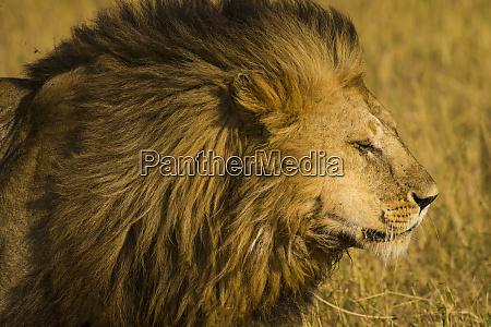 africa tanzania african lion male panthera