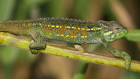 africa tanzania rough chameleon trioceros rudis
