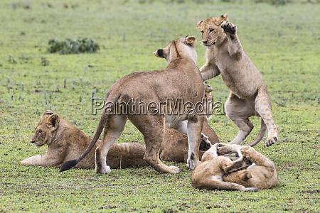 africa tanzania african lion cubs panthera