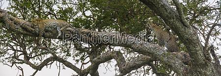 africa tanzania african leopards panthera pardus
