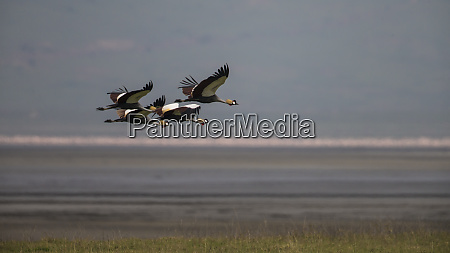 africa tanzania grey crowned cranes balearica