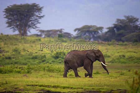 africa tanzania african elephant loxodonta africana