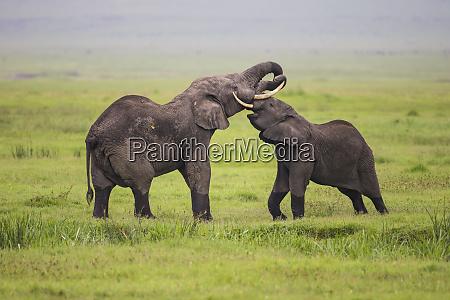 africa., tanzania., african, elephants, (loxodonta, africana) - 27750962