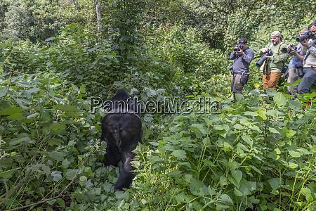 africa uganda bwindi impenetrable forest and