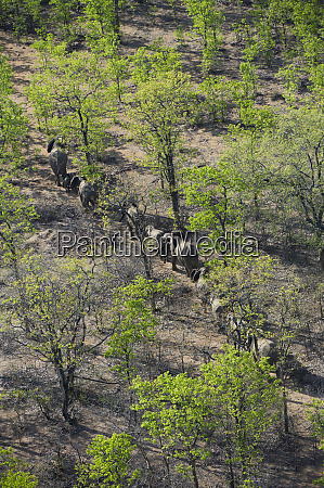aerial view of elephants from helicopter