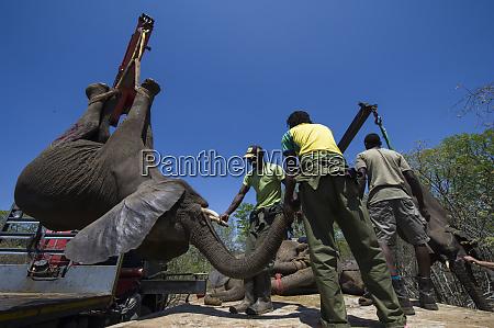 tranquilized elephant loxodonta africana being loaded