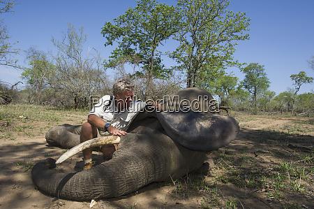 tranquilized elephant loxodonta africana elephants darted