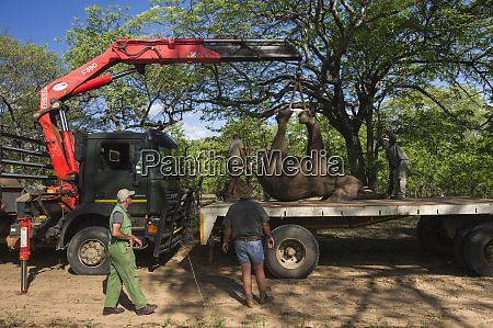 tranquilized elephants loxodonta africa being loaded