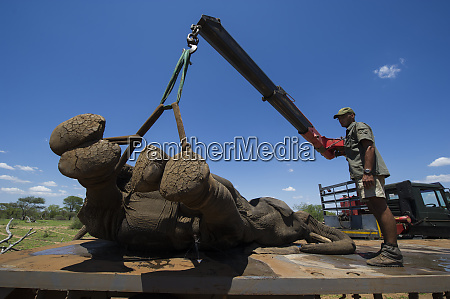 tranquilized elephants loxodonta africana being off