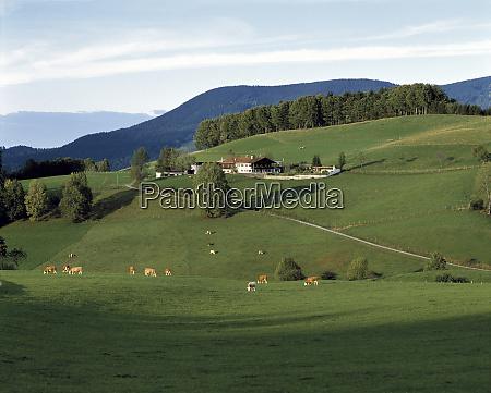 germany bavaria gmund cows graze near