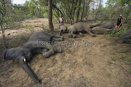 tranquilized elephants loxodonta africana to be