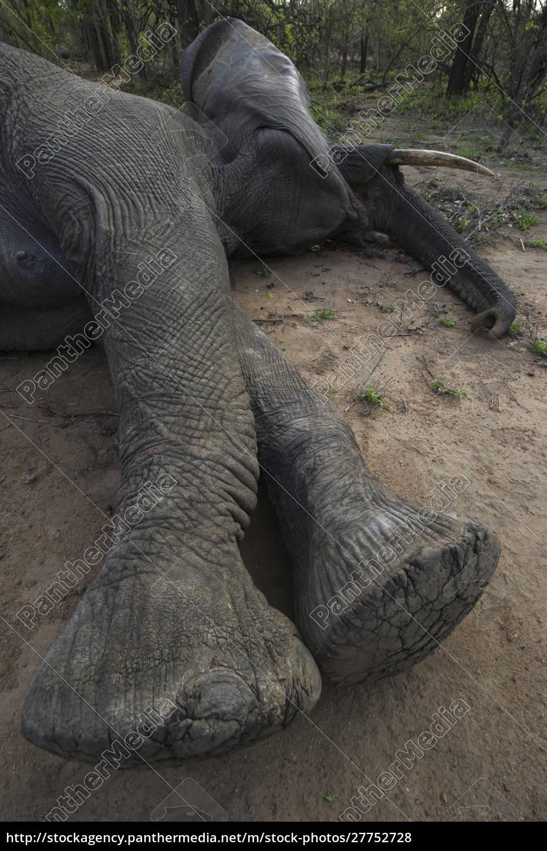 tranquilized, elephant, (loxodonta, africana), and, capture - 27752728
